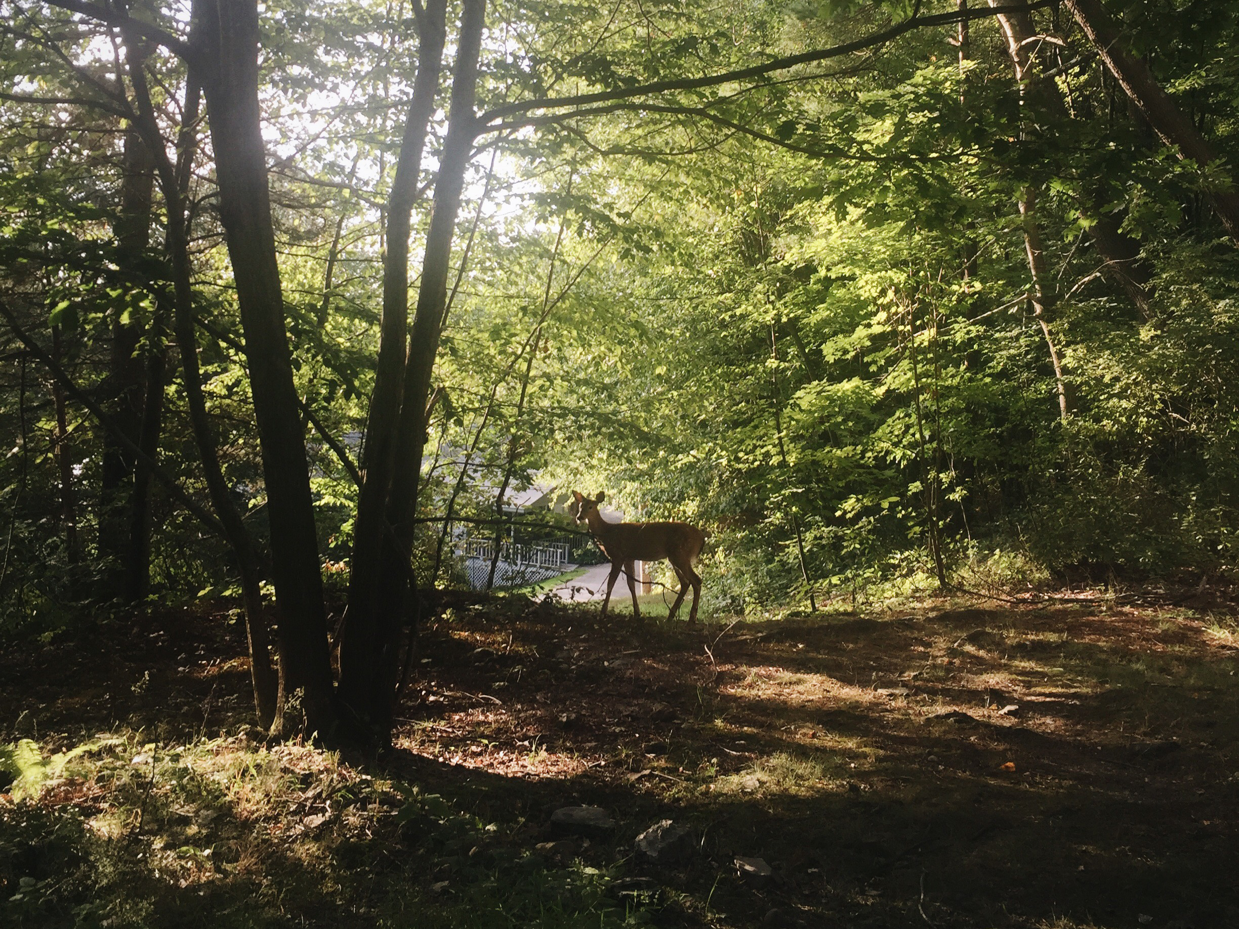 A deer stands in the forest. The sun shines through the trees.
